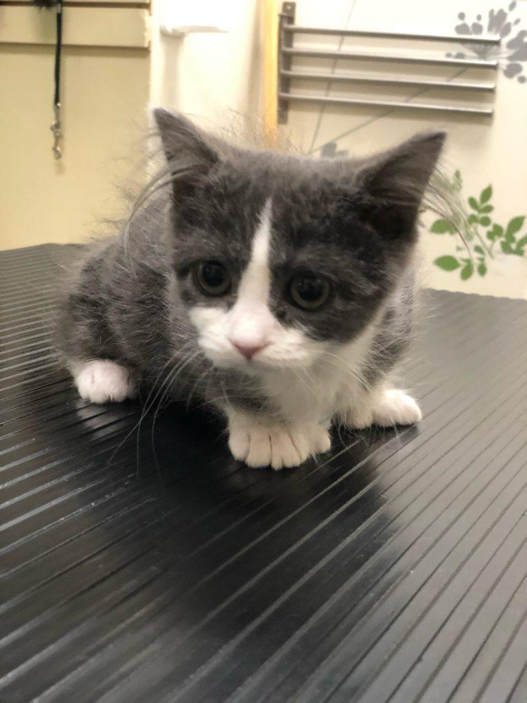 Lilly the Mitten Kitten